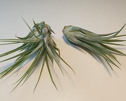 Lonantha Scaposa