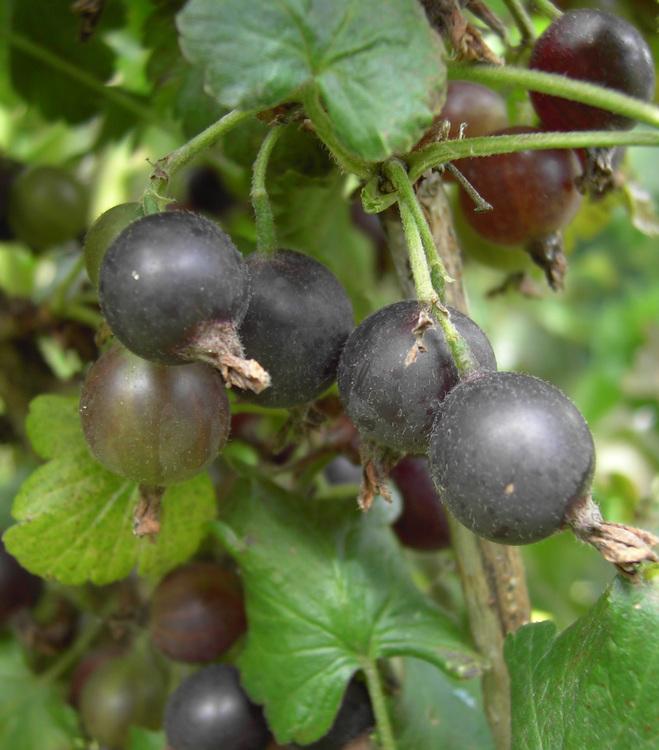 Jostabär – Ribes nidrigolaria