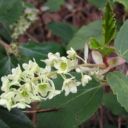 Vintergrön rips – Ribes laurifolium
