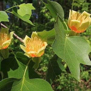 Äkta tulpanträd - Liriodendron tulipifera