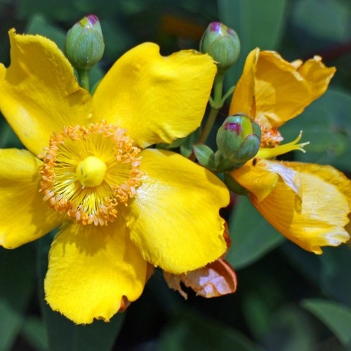 Vinterhipericum – Hipericum Hidcote