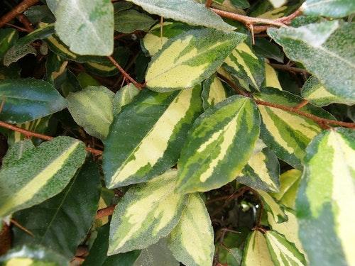 "Gyllenne silverbuske – Elaeagnus pungens ""Maculata Aurea"""