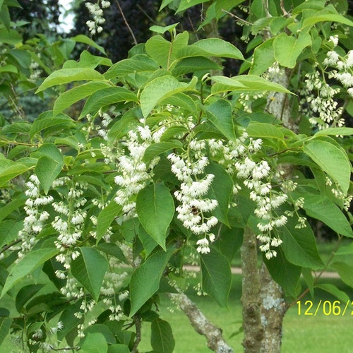 Epåletträd – Pterostyrax leveillei