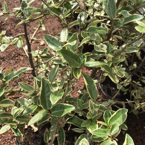 Tornig höstsilverbuske – Elaeagnus pungens 'Hosuba-fukurin'