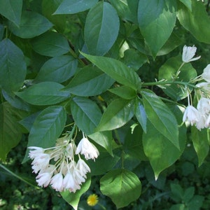 "Amerikansk pimpernöt ""Pauciflora"" -Staphylea trifolia ""Pauciflora"""