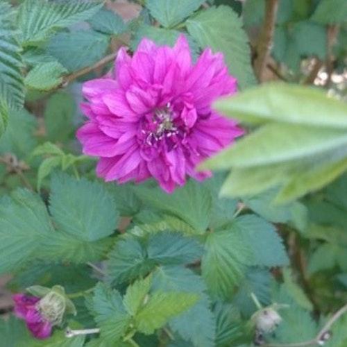 "Salmonberry ,prunkhallon ""Olympic Double – Rubus spectabilis ""Olympic Double"""