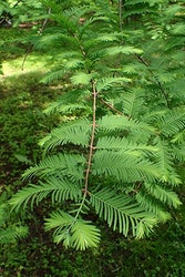 Kinesisk sekvoja – Metasequoia glyptrostroboides
