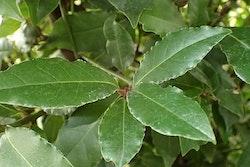Lagerträd – Laurus nobilis
