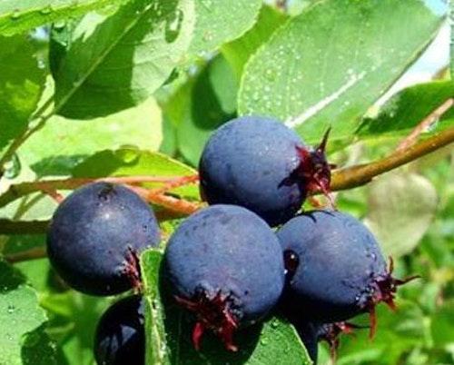 """Saskatoonbär """"Sleyt"""" – Amelanchier alnifolia """"Sleyt"""""""