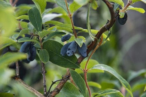 "Blåbärstry ""Borealis""-Lonicera caerulea var. kamtschatica ""Borealis"""