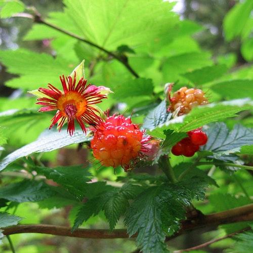 "Röd Salmonberry – Rubus spectabilis "" Vredenhorst Rood"