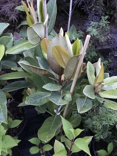 "Vintergrön magnolia ""Galissonniere"" – Magnolia grandiflora ""Galissoniere"""