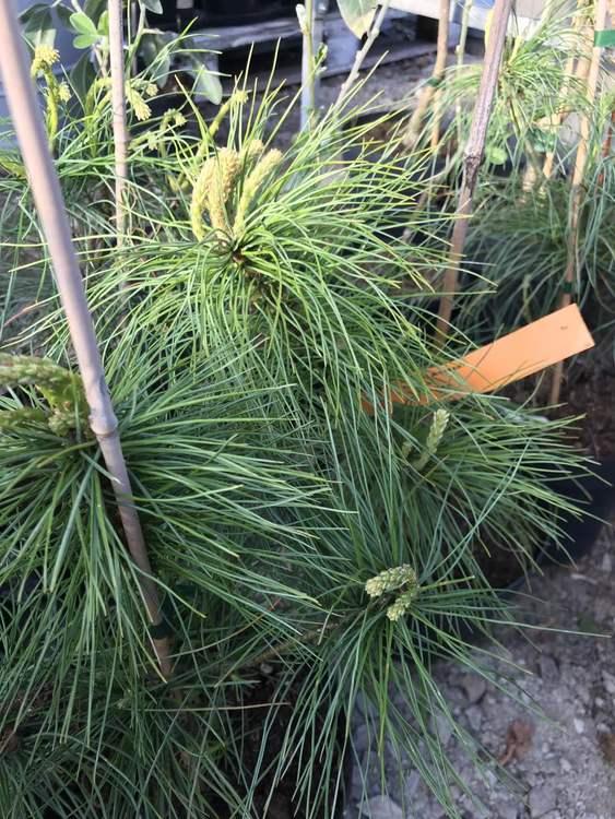 Kinesisk vit tall – Pinus armandii