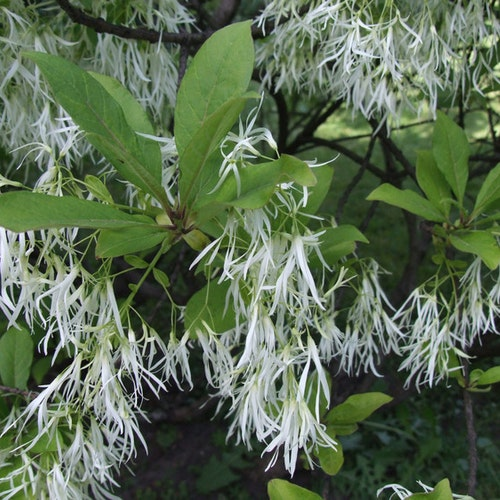 Snöflockbuske – Chionanthus virginicus