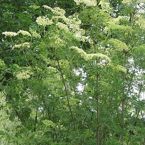 "Flikfläder – Sambucus nigra ""Laciniata"""
