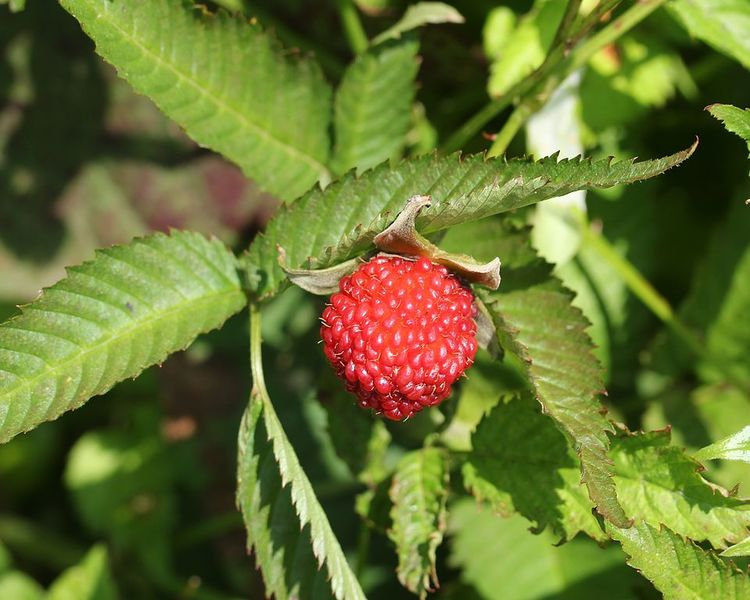 Jordgubbshallon – Rubus illecebrosus