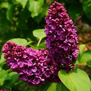 "Syren "" Charles joly "" – Syringa vulgaris 'Charles Joly'"