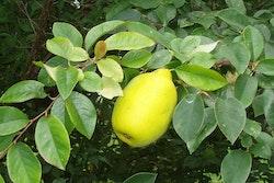 Kinesisk kvitten- Pseudocydonia sinensis