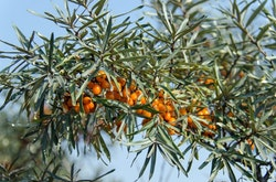 "Havtorn ""Friedorfer Orange"" – Hippophae rh. ""Friesdorfer Orange"""