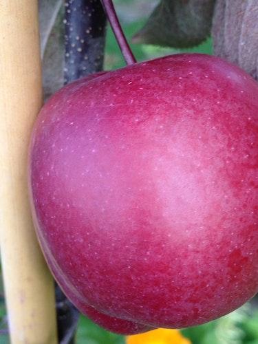 "Pelaräppelträd ""Redlane – Malus domestica ""Redlane"