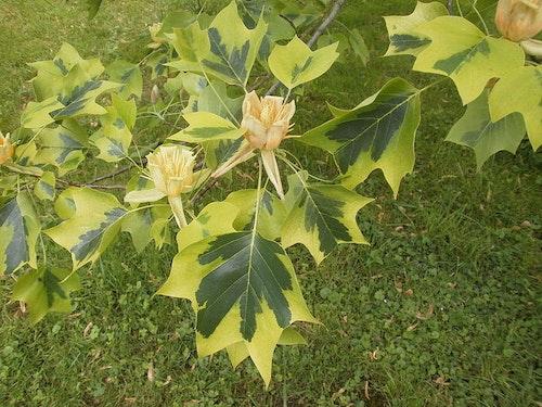 Variegerad tulpanträd- Liriodendron tulipifera Aureomarginata