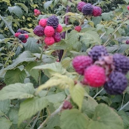 """Svart hallon -Rubus occidentalis """"Black Jewel"""""""