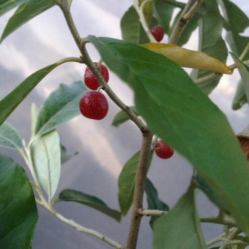 Goumi -Japansk silverbuske – Elaeagnus multiflora