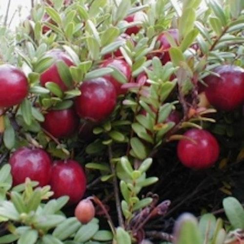 "Amerikansk tranbär ""Pilgrim"" - Vaccinium macrocarpon ""Pilgrim"""