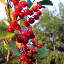 Röd aronia – Aronia arbut.'Brilliant' TRUE