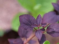 """Rödbladig katsura - Cercidiphyllum japonica """""""" Rotfuchs"""""""