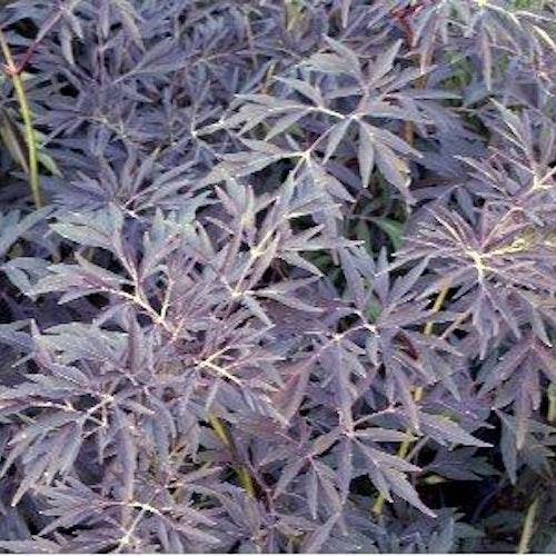 "Flikbladig blodfläder- Sambucus nigra"" Black Lace"""