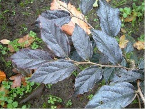 Sycoparrotia semidecidua 'Purple Haze'