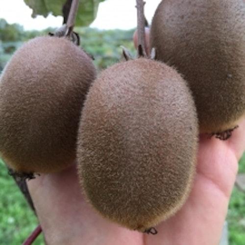 """Kiwi – Actinidia  chinensis """"Hayward"""""""
