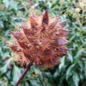 Yunnan lakrits -Glycyrrhiza yunnanensis