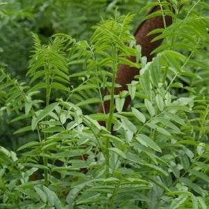 Lakritsrot -  Glycyrrhiza glabra
