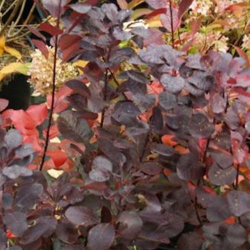 """Rödbladig perukbuske - Cotinus coggygria """"Royal Purple"""""""