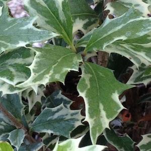 Brokbladig doftbuske - Osmanthus heterophykus  variegatus