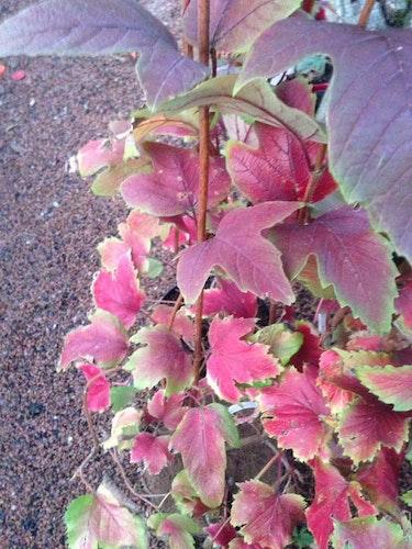 Blodolvon – Viburnum Sargentii `Onondaga`