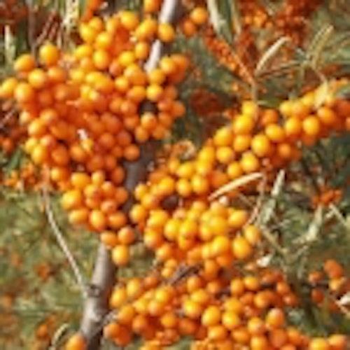 """Havtorn """"Leikora"""" -Hippophaë rhamnoides 'Leikora'"""