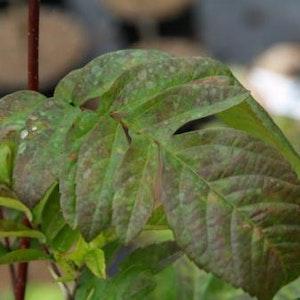 Häggmispelrönn – Amelasorbus raciborskiana