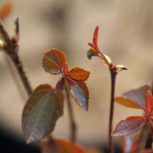 "Dvärgkatsura- Cedcidiphyllum japonica ""Hekenrode Dwarf"""