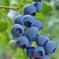 "Amerikansk blåbär ""Spartan"" – Vaccinium corymbosum ""Spartan"""