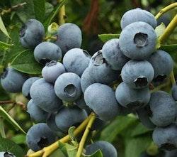 "Amerikansk blåbär ""Patriot"" – Vaccinium corymbosum ""Patriot"""