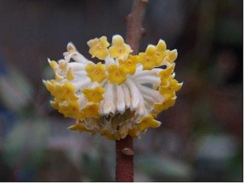 """Orientalisk pappersträd , Mitsumata - Edgeworthia chryantha """"Grandiflora"""""""