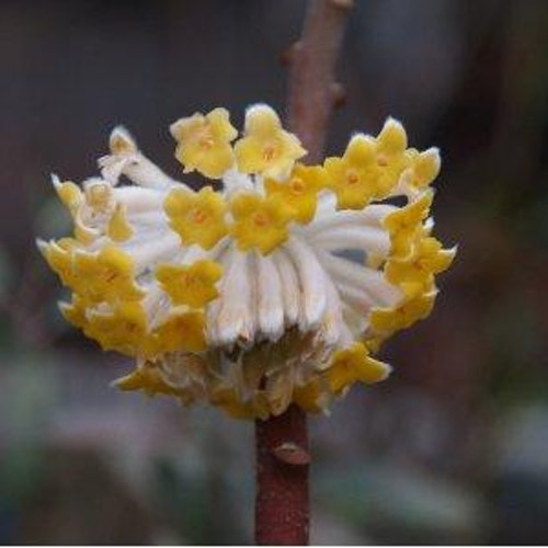 "Orientalisk pappersträd , Mitsumata - Edgeworthia chrysantha ""Grandiflora"""