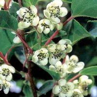 """Actinidia Arguta """"Weiki"""" (Male) - Minikiwi (Hanplanta)"""