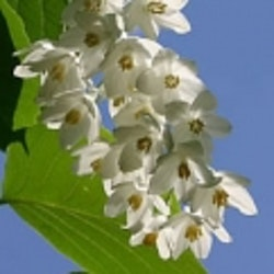 Storbladig storax - Styrax obassia