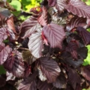 "Rödbladig ormhassel- Corylus""Red Majestic"""