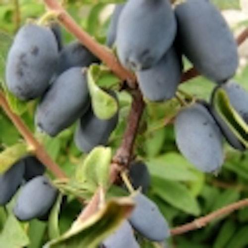 "Blåbärstry ""Duet""- Loniceria caerulea var. kamtschatica ""Duet"""