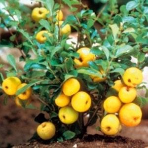 Liten rosenkvitten `Cido` – Chaenomeles japonica`Cido`